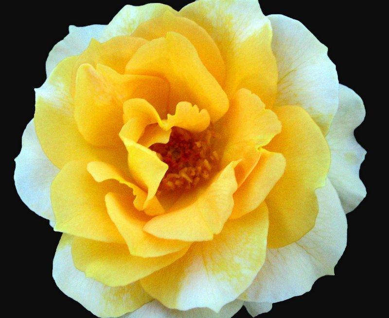 jardim rosas amarelas : jardim rosas amarelas:IMAGENS DE FLORES AMARELAS E FOTOS DE FLORES AMARELAS :: Avaré – Guia