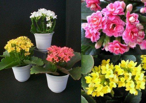 Flores Kalanchoe Como Cuidar Avare Guia Avare Guia Oficial Da